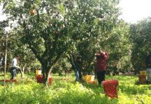 Raccolta arance nei terreni della Valle del Marro