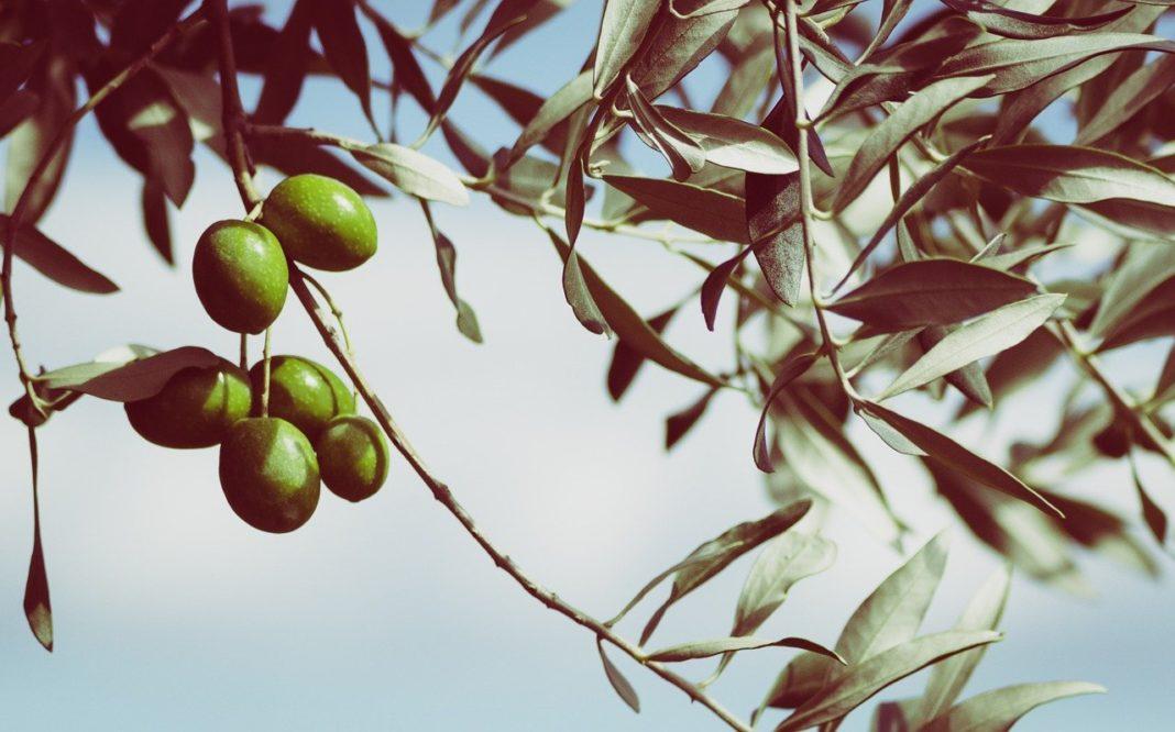 Corso di potatura olivo