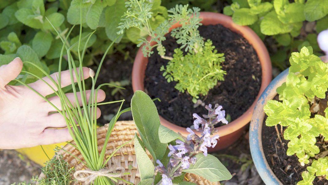 Come coltivare piante aroatiche in vaso o in terrazzo